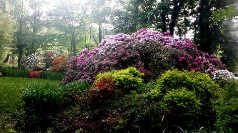 Rhododendren im Park Dennenlohe